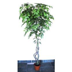 Csíkos Fikusz fa műnövény 180 cm